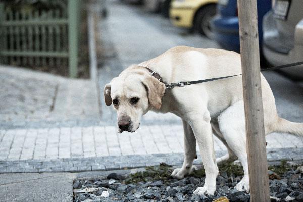white-pooping-dog